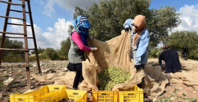 Trésor de l'agriculture Tunisienne : l'huile d'olive bio